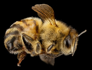 Apis mellifera. Photo by Sam Droege.