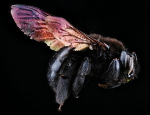 Xylocopa mordax. Photo Sam Droege.