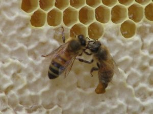 Bees in our first hive passing nectar. The bee on the right has stung and lost her abdomen. Her last act is passing nectar to her sister.
